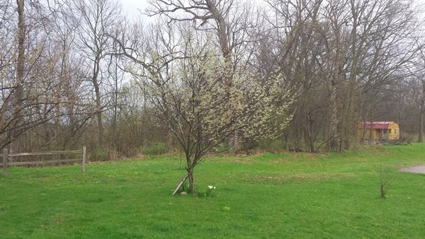 plum trees in bloom