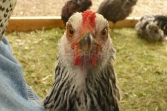 chicken face - what are you looking at