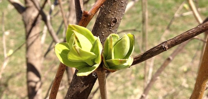 tree buds in spring