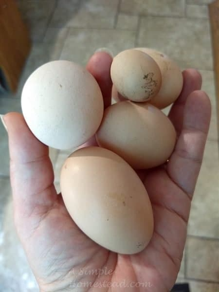 chicken eggs - one is different